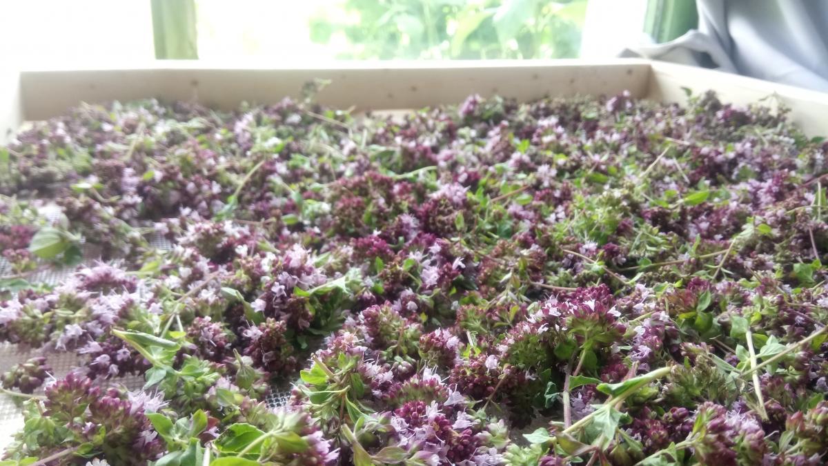 Fleurs d'origan au séchage