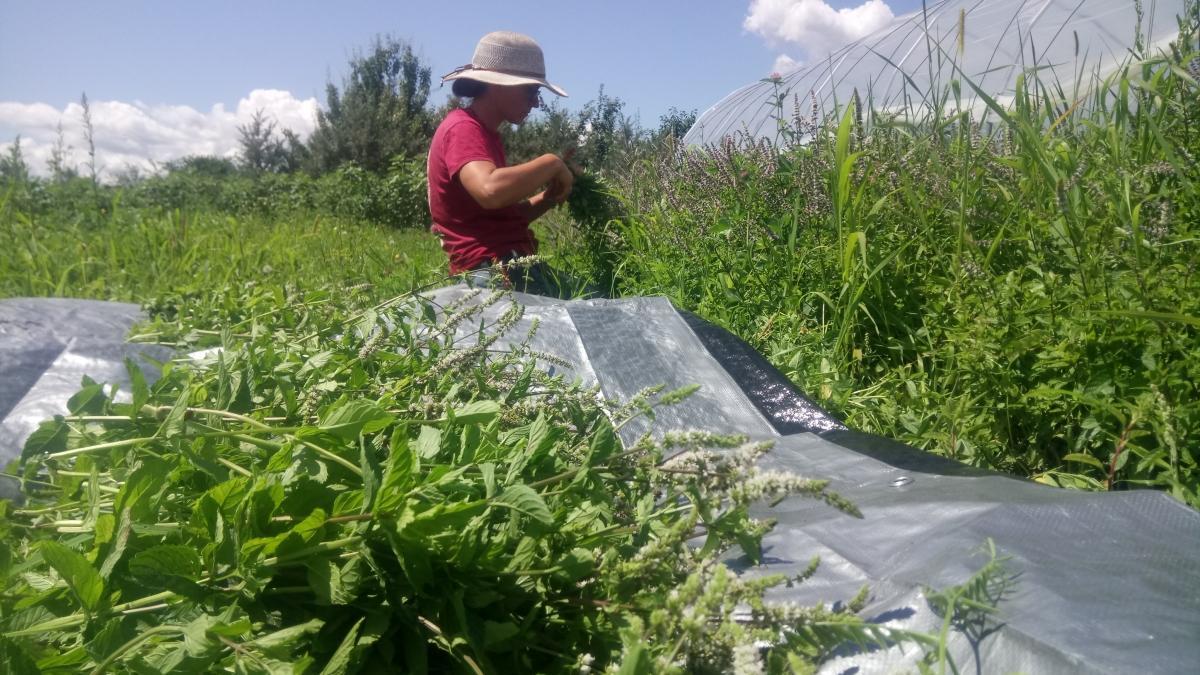 Récolte de menthe poivrée pour le séchage