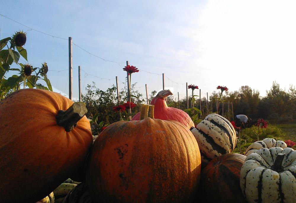 Récolte de courges en automne